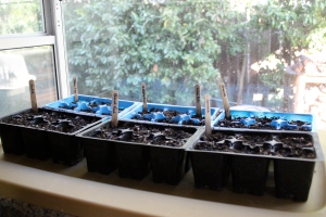 Seeds planted on my sunny kitchen windowsill.  Just makes me happy!