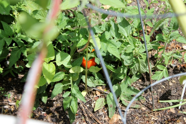 See that little bit of red amidst all the green?  It couldn't be a ripe tomato!