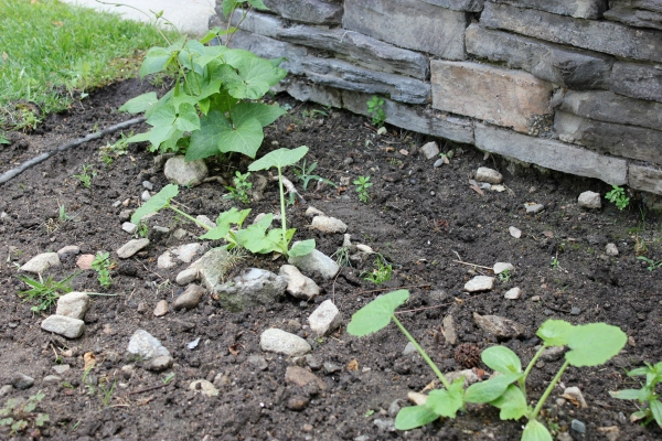 2nd set of zucchini seedlings up and growing.  (The first set met their sad demise at the hand of unsuspecting gardener.)